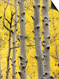 Aspen Trunks and Fall Foliage, Near Telluride, Colorado, United States of America, North America Prints by James Hager