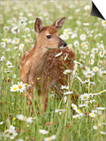 Whitetail Deer Fawn Among Oxeye Daisy, in Captivity, Sandstone, Minnesota, USA Prints by James Hager