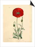 Papaver rhoeas Prints by John Curtis