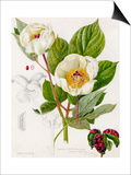 Paeonia whittmanniana Prints by Lilian Snelling