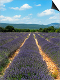 Lavender Fields around Roussillon, Parc Naturel Regional Du Luberon, Vaucluse, Provence, France, Eu Posters by Peter Richardson