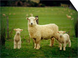 Ewe and Twin Lambs on Sheep Farm, Marlborough, South Island, New Zealand Print by Julia Thorne