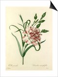 Oeillet panaché: Dianthus cariophyllus Prints by  Chapuy