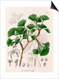 Salisburia adianthifolia Prints by  de Siebold
