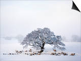 Northumberland Blackface Sheep in Snow, Tarset, Hexham, Northumberland, England, United Kingdom Prints by Ann & Steve Toon