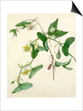 Passiflora misera Prints by Margaret Meen