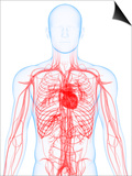 Cardiovascular System, Artwork Posters by  SCIEPRO