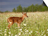 Captive Whitetail Deer Fawn Among Oxeye Daisies, Sandstone, Minnesota, USA Poster by James Hager