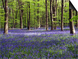 Bluebells In Woodland Poster by Adrian Bicker