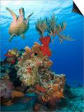 Sea Turtle (Chelonioidea) Swimming over the Coral, Cozumel, Mexico, Caribbean, North America Posters by Antonio Busiello