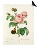 Rosa Centifolia: Rosier à cent feuilles Posters by  Langlois