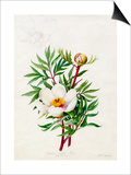 Paeonia clusii Poster by Lilian Snelling