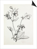 Helleborus lividus Prints by Graham Stuart Thomas
