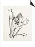 Iris unguicularis (Iris stylosa) Posters by Graham Stuart Thomas