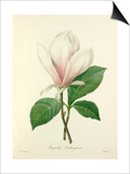 Magnolia Soulangiana Prints by  Langlois