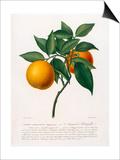 Citrus aurantium Print by Antonio Targioni-Tozzetti