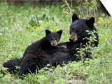 Black Bear Sow Nursing a Spring Cub, Yellowstone National Park, Wyoming, USA Prints by James Hager