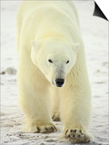 Polar Bear (Thalarctos Maritimus), Churchill, Manitoba, Canada, North America Print by James Hager