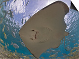 Stingray (Dasyatis Thetidis) from Below with the Sun Behind, Cozumel, Mexico, Caribbean Prints by Antonio Busiello