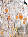 Frost-Covered Birch Branches and Leaves, Town of Cakovice, Prague, Czech Republic, Europe Posters by Richard Nebesky