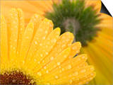 Yellow Gerbera with Drops of Water Art by Chris Schäfer