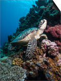 Green Turtle (Chelonia Mydas), Sulawesi, Indonesia, Southeast Asia, Asia Posters by Lisa Collins