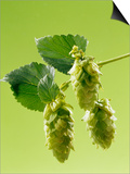 Sprig of Hops Print by Ludger Rose