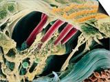 Inner Ear Organ of Corti Posters by Dr. Goran Bredberg