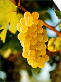 Ripe White Wine Grapes on Vine (Grüner Veltliner, Lower Austria) Posters by Herbert Lehmann