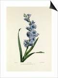 Hyacinth Posters by Charles Joseph Hullmandel