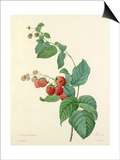 Framboisier: Rubus Prints by  Langlois