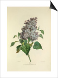 Lilac Print by Charles Joseph Hullmandel