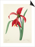 Amaryllis: Lys St. Jacques Posters by  Victor