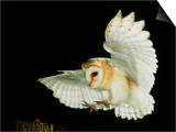 Barn Owl Prints by Andy Harmer