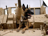 US Air Force Military Working Dog Sits on a US Army M2A3 Bradley Fighting Vehicle Prints by  Stocktrek Images