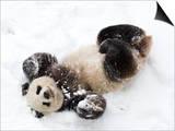 National Zoological Park: Giant Panda Print