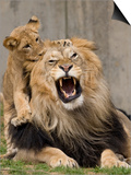 National Zoological Park: African Lion Prints