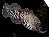 National Zoological Park: Common Cuttlefish Poster