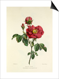 Damask Rose Prints by Charles Joseph Hullmandel
