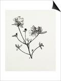 Rhododendron dauricum Print by Graham Stuart Thomas