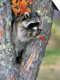 Raccoon (Procyon Lotor) in its Den in a Hollow Maple Tree (Acer), North America Prints by Tom Walker