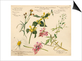 Wildflower composite plate no XVI Prints by Lilian Snelling