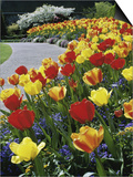 Tulips Buchart Garden Victoria British Columbia, Canada Prints