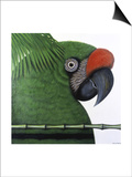 Amazonian Military Macaw Prints by Ivan Ball