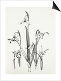 Galanthus varieties Posters by Graham Stuart Thomas
