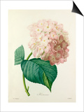 Hortensia Posters by  Langlois