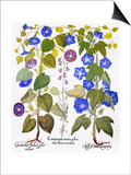 Bluebell And Morning Glory Prints by Besler Basilius