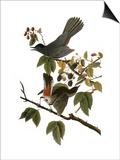 Audubon: Catbird, 1827-38 Affiches par John James Audubon