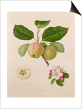 The Early Russian Apple Print by William Hooker