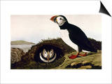 Audubon: Puffin, 1827-38 Posters by John James Audubon